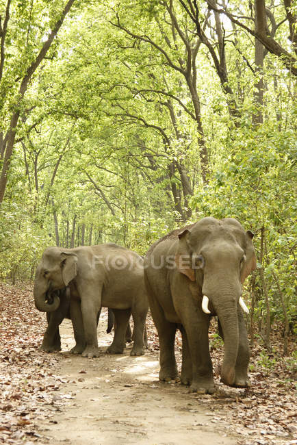 Elefantes asiáticos colmillo Elephas maximus caminar bajo los árboles; Corbett Tiger Reserve; Uttaranchal; India - foto de stock