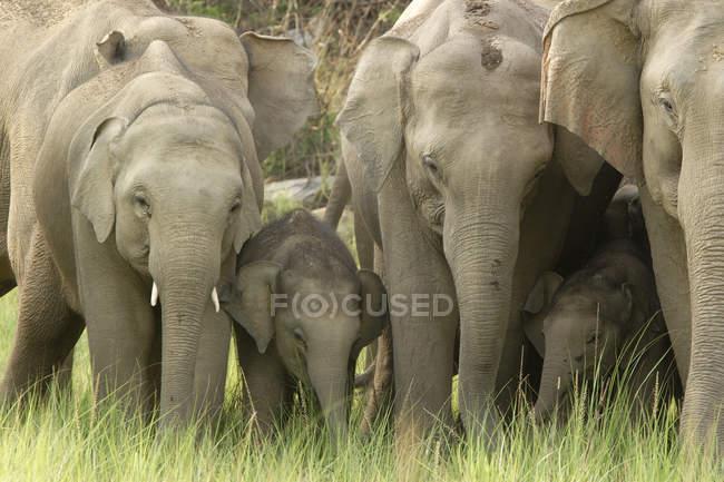 Herde von Asiatischer Elefant Elephas Maximus mit jungen Kalb; Corbett Tiger Reserve; Uttaranchal; Indien — Stockfoto