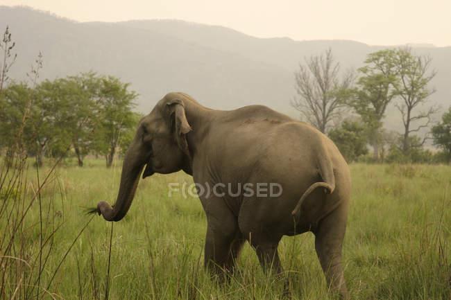 Asiatische Elefanten grasen grass Elephas Maximus; Corbett Tiger Reserve; Uttaranchal; Indien — Stockfoto