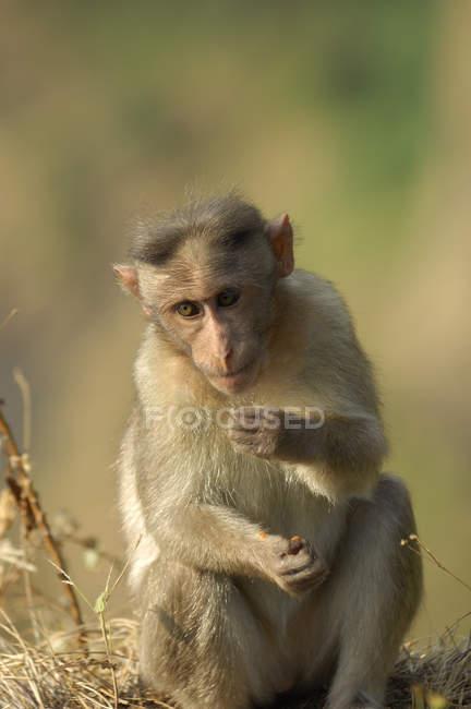 Mono sentado en el suelo - foto de stock