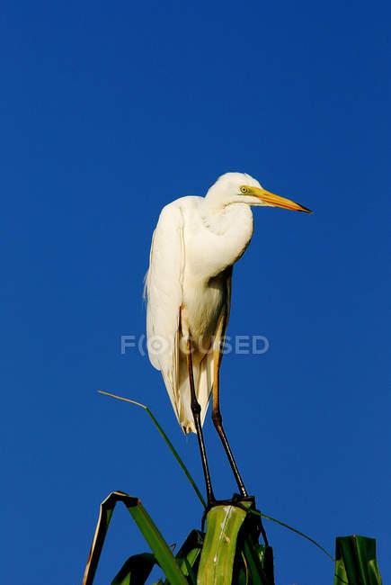 In piedi Grande Egret sulla pianta contro il cielo blu durante il giorno — Foto stock