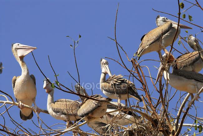 Серый или Spotbilled Пеликан (Pelecanus Philippensis) сидя на ветки дерева против четкие голубое небо — стоковое фото