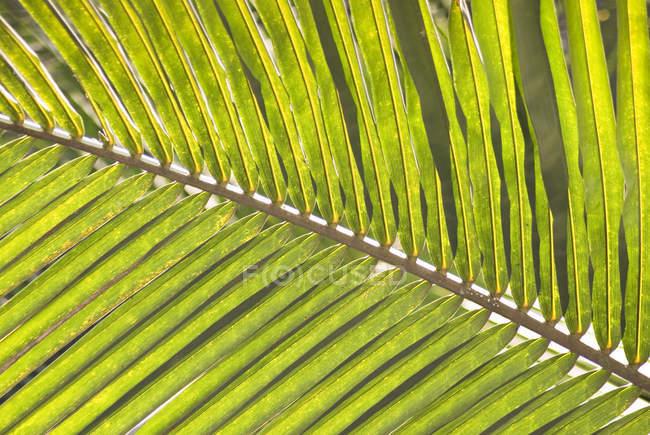 Зелений кокосовий лист — стокове фото
