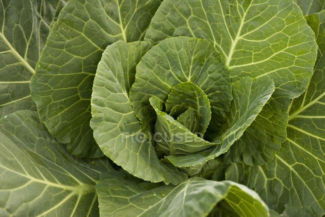 Крупным планом капусты овощей — стоковое фото