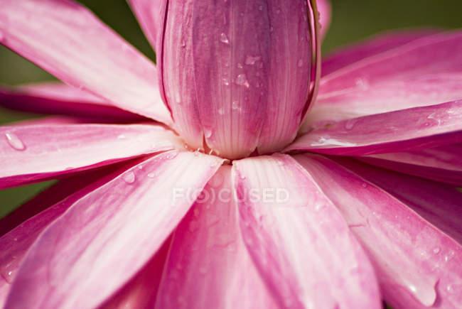 Lotus rose Gros plan — Photo de stock