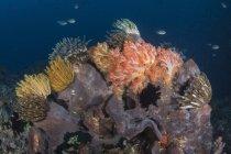 Crinoides y escena del arrecife de coral - foto de stock