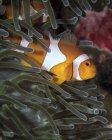 False clownfish in anemone — Stock Photo