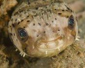 Vista de primer plano de la cabeza de pez globo - foto de stock
