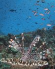 Lionfish on reef in Komodo National Park — Stock Photo