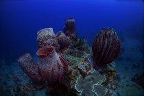 Esponjas de barril en arrecifes profundos - foto de stock
