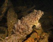 Pesce rospo ostrica nel relitto della USS Indra — Foto stock