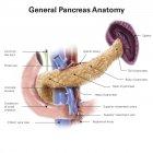 Anatomía del páncreas humano - foto de stock