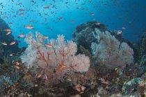 Scena della barriera corallina nel Parco Nazionale di Komodo — Foto stock
