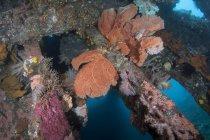 Corales y esponja en USS Liberty Wreck - foto de stock