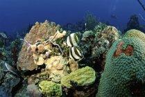 Par de mariposas con bandas que deambulan por los arrecifes - foto de stock