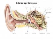 Canal auditivo del oído humano - foto de stock