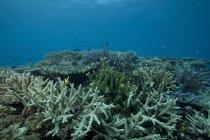 Corales que cubren arrecifes en la laguna de Beqa - foto de stock