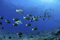 Scuola di pesce chirurgo che si estende in lontananza — Foto stock