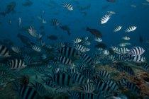 Стая рыб сержант-майор — стоковое фото