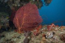 Gorgoniano mar ventilador y tigre cowrie - foto de stock