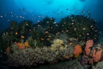 Scena della barriera corallina con coralli e antie — Foto stock