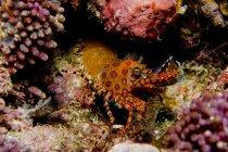 Crevettes tachetées orange et rouge — Photo de stock