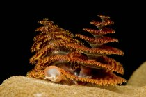 Christmas tree worms on coral — Stock Photo