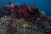 Poissons nageant dans les coraux mous — Photo de stock