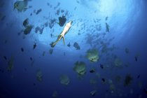 Large school of batfish — Stock Photo