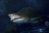 Тигровая акула в аквариуме голубой зоопарк — стоковое фото