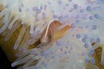 Рожевий клоун в вибіленої anemone — стокове фото