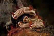 Selodoris maridadius sea slugs — стоковое фото