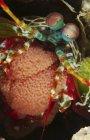 Camarones Mantis con embrague de huevo - foto de stock