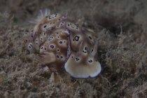 Pair of Risbecia tryoni nudibranchs — Stock Photo