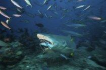 Лимонная акула жевать тунца головы — стоковое фото