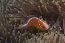 Pez payaso nadando cerca de la anémona huésped - foto de stock