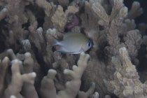 Cromo de carbono nadando cerca de coral - foto de stock