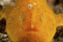 Pesce verruca arancione con canna da pesca — Foto stock