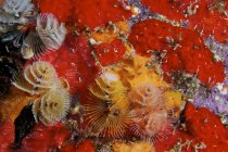 Christmas tree worms — Stock Photo