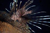 Roter Feuerfisch mit tödlichen Stacheln — Stockfoto