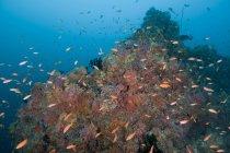 Barriera corallina colorata con coralli e pesci anthias — Foto stock