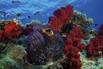 Pez payaso de aletas anaranjadas y corales suaves - foto de stock