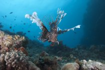 Common lionfish swimming at Beqa Lagoon — Stock Photo