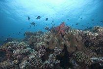 Enseñanza de antías peces y corales - foto de stock