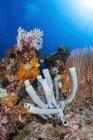 Esponjas de tubo en el arrecife de coral - foto de stock