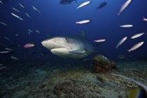 Тигровая акула, плавание с рыбой приманки — стоковое фото