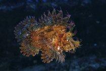 Orange scorpionfish swimming in dark water — Stock Photo