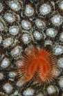 Christmas tree worm on coral — Stock Photo