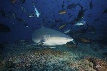 Бык Акулы, в окружении коралловых рыб — стоковое фото