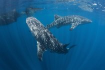 Whale sharks swimming near surface — Stock Photo